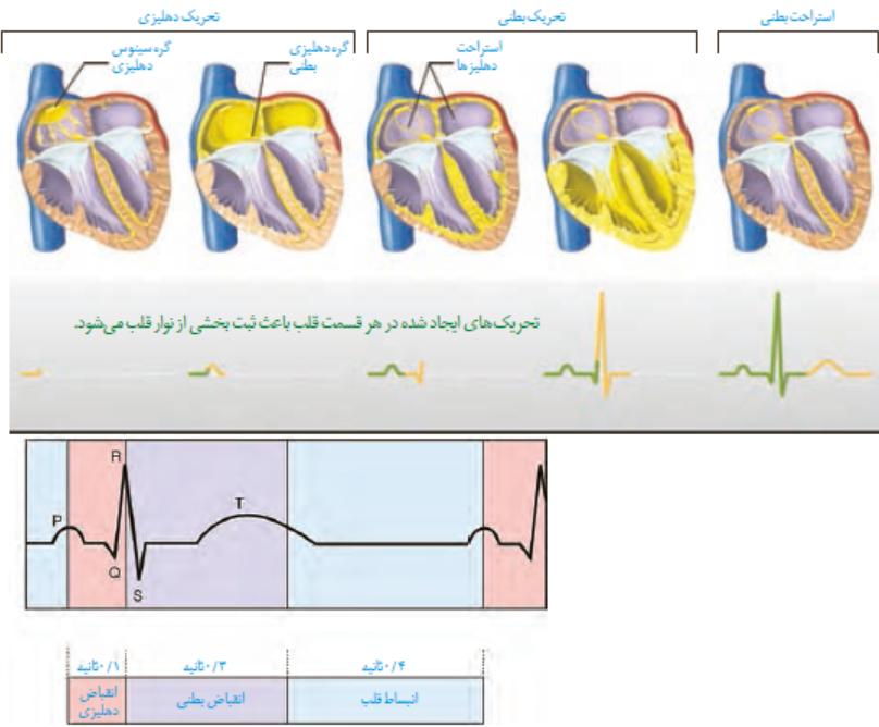 درسنامه آموزشی زیست شناسی 1 کلاس دهم رشته تجربی فصل 4 گفتار 1 قلب با پاسخ گاما