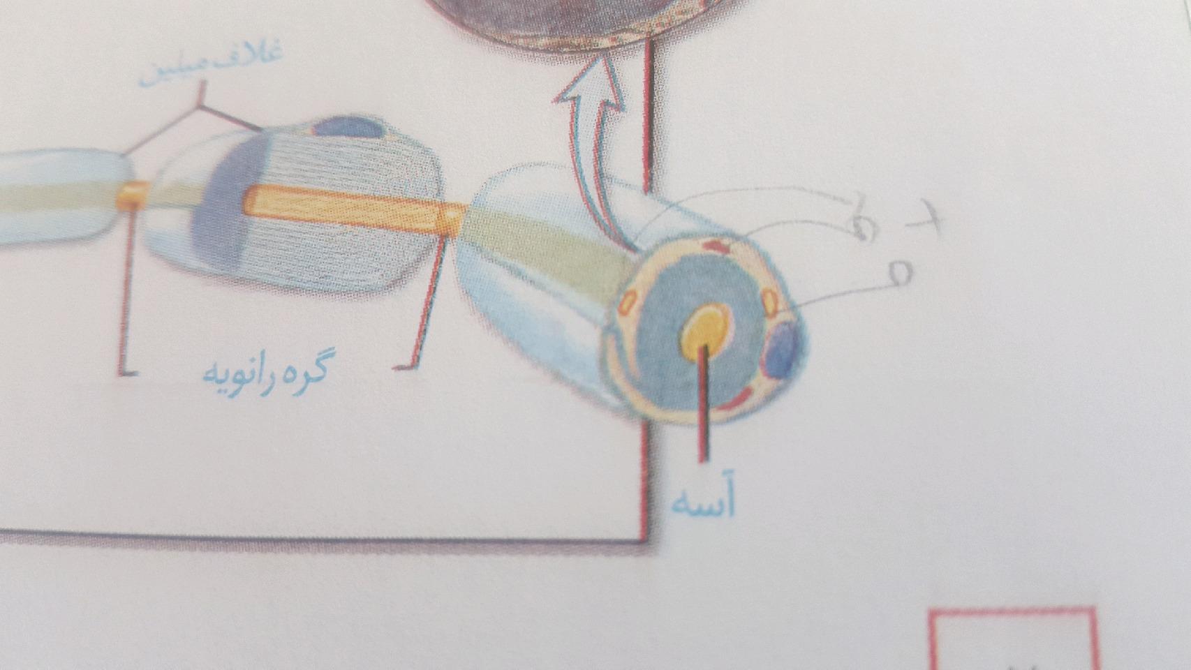 تصویر ضمیمه سوال: غلاف میلین همان غشای یاخته ی پشتیبان سازنده ی آن است و بر اساس شکل در غلاف میلین(که همان غشاء است)هسته مشاهده می شود.اما هسته که در یک سلول در سیتوپلاسم آن حضور دارد پس چطور ممکن است که در غشاء یاخته دیده شود؟؟