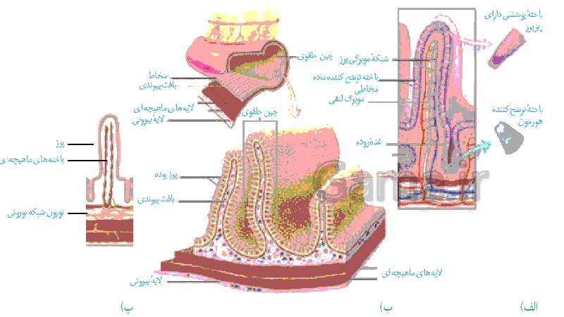 پاورپوینت تدریس زیست شناسی (1) دهم تجربی | گفتار 3: جذب مواد و تنظیم فعالیت دستگاه گوارش- پیش نمایش