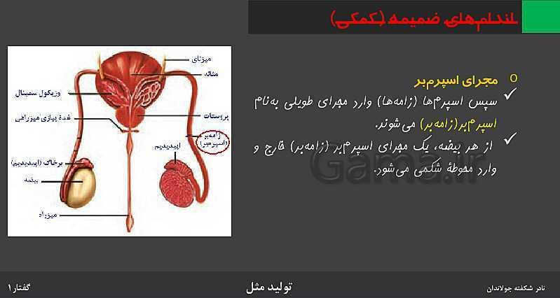 پاورپوینت زیست شناسی (2) یازدهم   فصل 7   گفتار 1: دستگاه تولید مثل در مرد- پیش نمایش