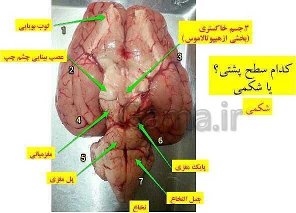 پاورپوینت زیست شناسی (2) یازدهم رشته تجربی   تشریح مغز- پیش نمایش