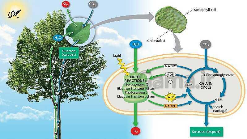 پاورپوینت زیست 3 | فصل 6: از انرژی به ماده | گفتار 2: واکنش های فتوسنتزی- پیش نمایش