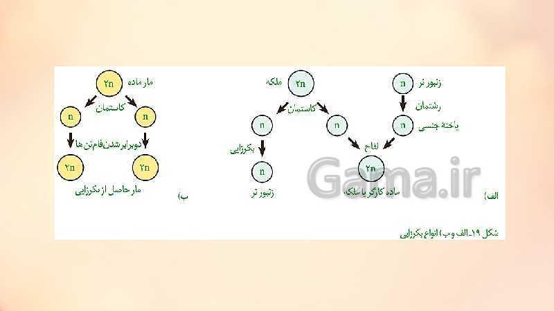 پاورپوینت تدریس زیست شناسی (2) یازدهم تجربی | فصل 7: تولیدمثل (گفتار 1 تا 4)- پیش نمایش