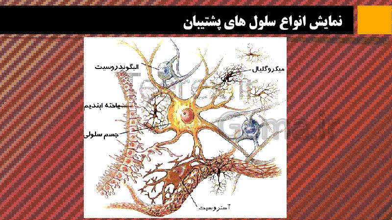 پاورپوینت اطلاعات جمع آوری کنید در مورد یاخته های پشتیبان در بافت عصبی | صفحه 33 کتاب علوم هشتم - پیش نمایش